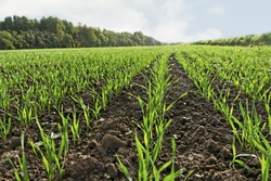 Young green wheat growing in field.