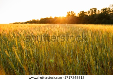 Young green wheat seedlings growing on a field. Agricultural field on which grow immature young cereals, wheat. Wheat growing in soil. Close up on sprouting rye on a field in sunset.