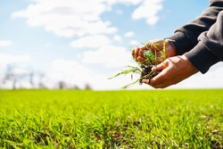 Young Green wheat seedlings in the hands of a farmer. Agronomist checks and explores sprouts of rye. Ripening ears of wheat field. Agricultural business.