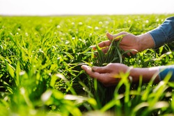 Young Green wheat seedlings in the hands of a farmer. Male farmer looking at the produce before harvesting. Agriculture, gardening or ecology concept.