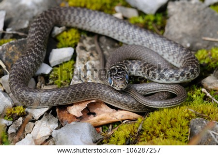 young Green Whip Snake
