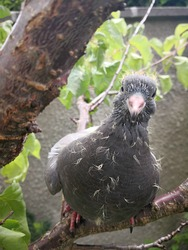 Young grey pigeon chick sitting on the branch of the fruit tree in the garden and looking directly at the reader with curious air. Lovely funny baby dove keeping its yellow down. Selective focus