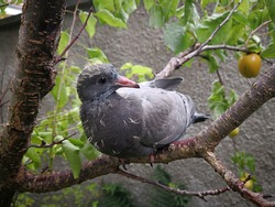 Young grey pigeon chick sitting on the branch of the fruit tree in the garden with curious air. Lovely funny baby dove with yellow down on its head. Young, but intelligent pigeon with shiny cute eyes