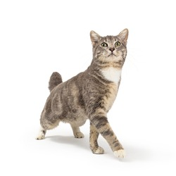 Young grey tabby cat extending front leg to walk forward while stretching head to look up