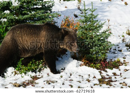 Young Grizzly Bear feeding on berries in the snow, Peter Lougheed Provincial Park, Kananaskis Country Alberta Canada