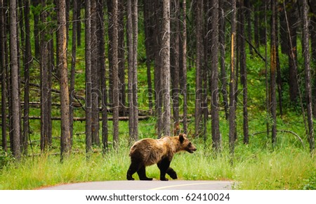 Young Grizzly Bear in a forest, Peter Lougheed Provincial Park, Kananaskis Country Alberta Canada