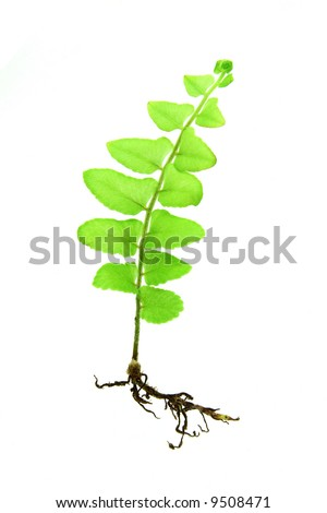 Young growing fern plant isolated on white background
