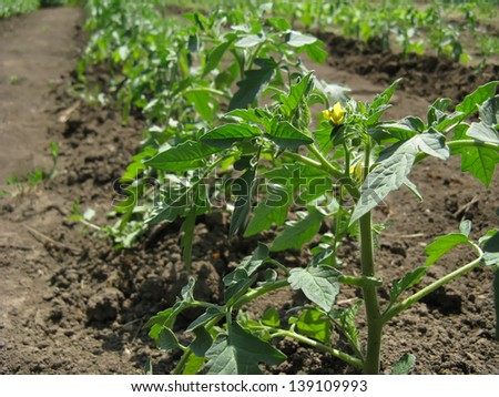 Young growing tomato plants in a garden bed close-up