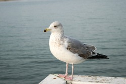 Young gull Larus marinus, close-up view