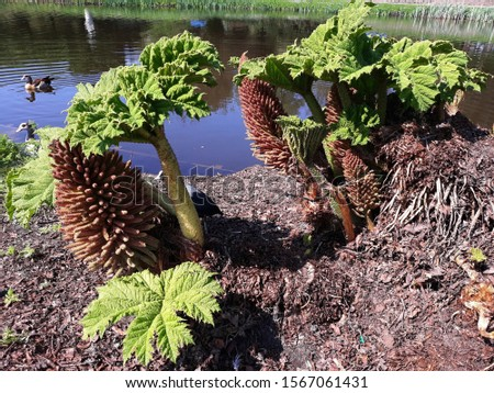 Young Gunnera tinctoria with fruit, known as giant rhubarb or Chilean rhubarb. It is a giant, clump-forming herbaceous perennial flowering plant, in the family Gunneraceae.