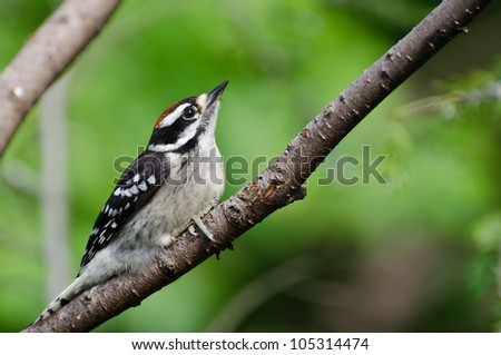 Young Hairy Woodpecker Perched in a Tree