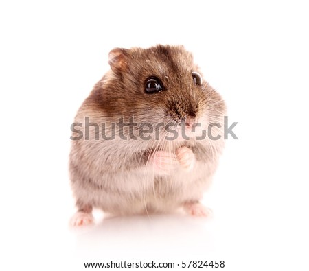 Young hamster isolated on white
