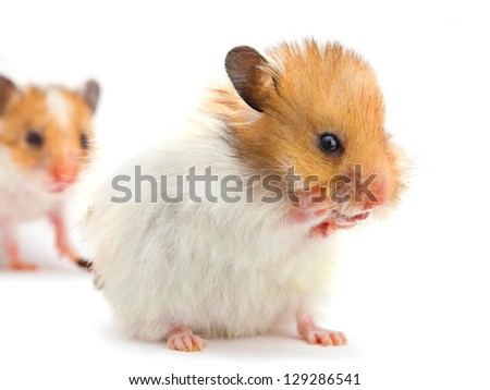 Young hamster washes isolated on white