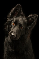 Young happy black dog on black background. Breed is 'Old German Shepherd Dog'.