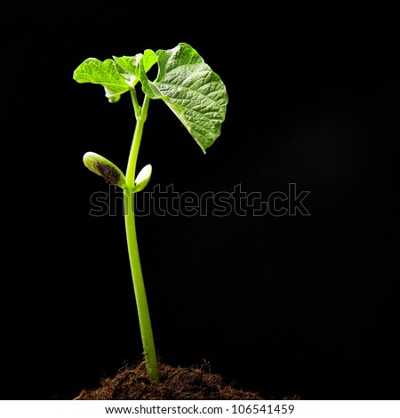 young haricot plant isolated on black