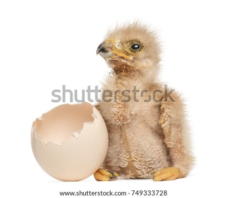 Shutterstock Young Harris's Hawk next to the egg from which he hatched out, 3 days old, isolated on white