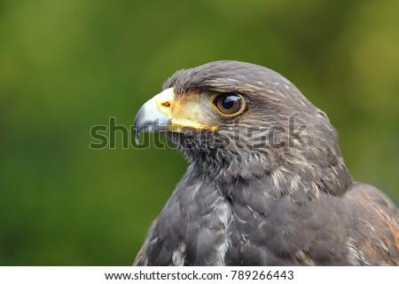 Shutterstock young Harris's Hawk or Harris Hawk (Parabuteo unicinctus) falcon close-up portrait looking for prey