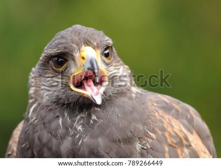 Shutterstock young Harris's Hawk or Harris Hawk (Parabuteo unicinctus) falcon close-up portrait, upper body with the open beak, horizontal image