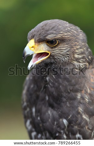 Shutterstock young Harris's Hawk or Harris Hawk (Parabuteo unicinctus) falcon close-up portrait, upper body with the open beak. vertical image
