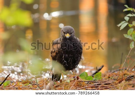 Shutterstock young Harris's Hawk or Harris Hawk (Parabuteo unicinctus) falcon on the ground, forest, near water, portrait looking for prey, horizontal image