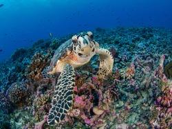 Young Hawksbill turtle in coral reef (Rangiroa, Tuamotu Islands, French Polynesia in 2012)