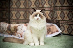 Young healthy beautiful purebred Ragdoll cat, at home