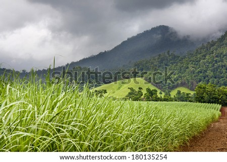 Young healthy sugar cane growing with cloudy sky  and mountains in background