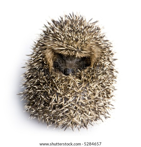 Young hedgehog curled up into a ball (1 months) in front of a white background - stock photo