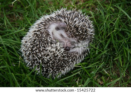 Young hedgehog in defense on green grass