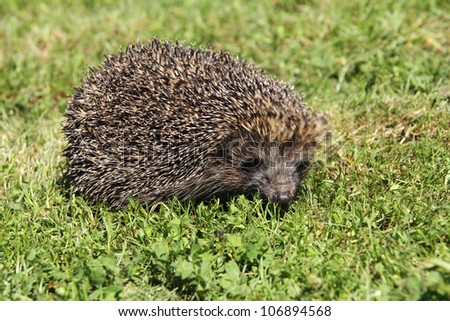 Young hedgehogs in green grass