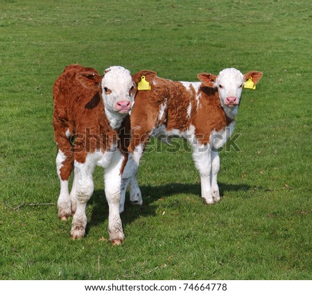 Young Hereford Calves standing in an English Meadow
