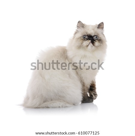 Young Himalayan Cat Posing for Photo Isolated on White Сток-фото ©