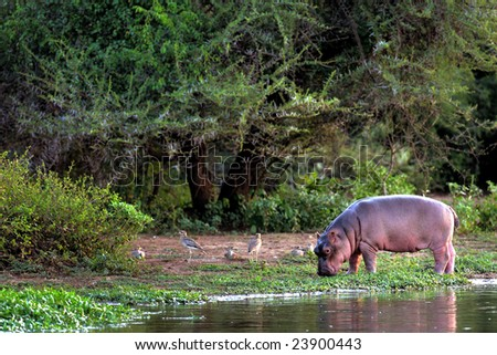 Young hippo feeding on river bank; Hippopotamus amphibius