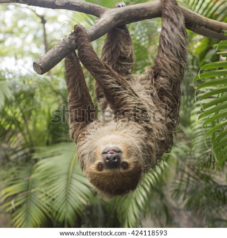 Young Hoffmann\'s two-toed sloth (Choloepus hoffmanni) on the tree
