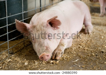 Young hog laying in barn stall.