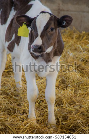 Young Holstein calf standing in straw.