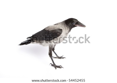 Young hooded Crow (Corvus cornix) , isolated on white background