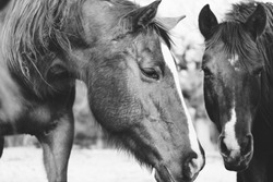 Young horses close up on farm in black and white, friendly and curious equine.
