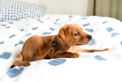 Young Hound mix Puppy Scratching on  Bed