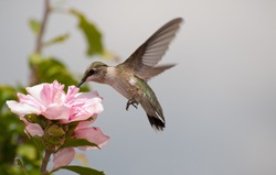 Young Hummingbird feeding on a light pink Hibiscus blossom