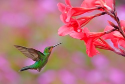 Young Hummingbird Green-crowned Brilliant, Heliodoxa jacula, green bird from Costa Rica flying next to beautiful red flower with pink bloom background. Wildlife scene from tropic nature.