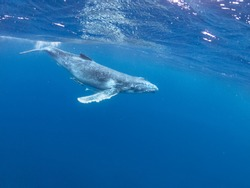 young humpback whale swimming beneath the surface Pacific Ocean near  Vava'u islands Tonga wave splash