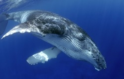 YOUNG HUMPBACK WHALE SWIMMING ON SURFACE CLOSE TO THE CAMERA