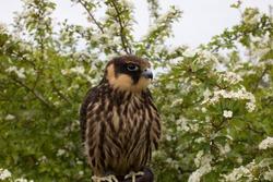 young hunting  Eurasian hobby (Falco subbuteo) sits on a Falconer's glove