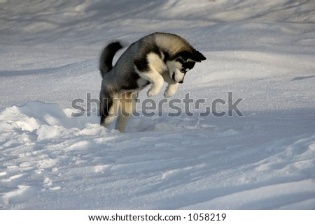 young husky jumping in snow in hunting manner
