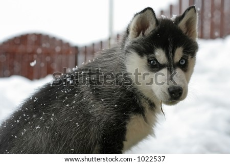 young husky with grass in mouth, while it's snowing