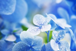 Young Hydrangea flower with dew. Extremely shallow depth of field for dreamy feel.