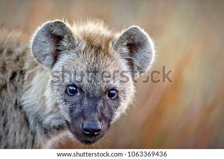 Young Hyena in the African Bush grass front facing gazing stare