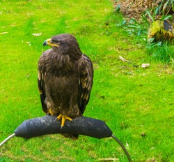 young immature brown bald eagle also known as the sea eagle a beautiful bird of prey portrait