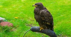 young immature brown sea eagle also know as the bald eagle a beautiful scavenger bird from canada